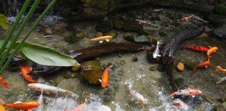 Teichfische bei Hitze