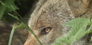 Wolf-in-NRW-und-Schermbeck