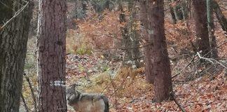 Wolf-im-Kreis-Wesel-Erste-Fotos-von-Gloria