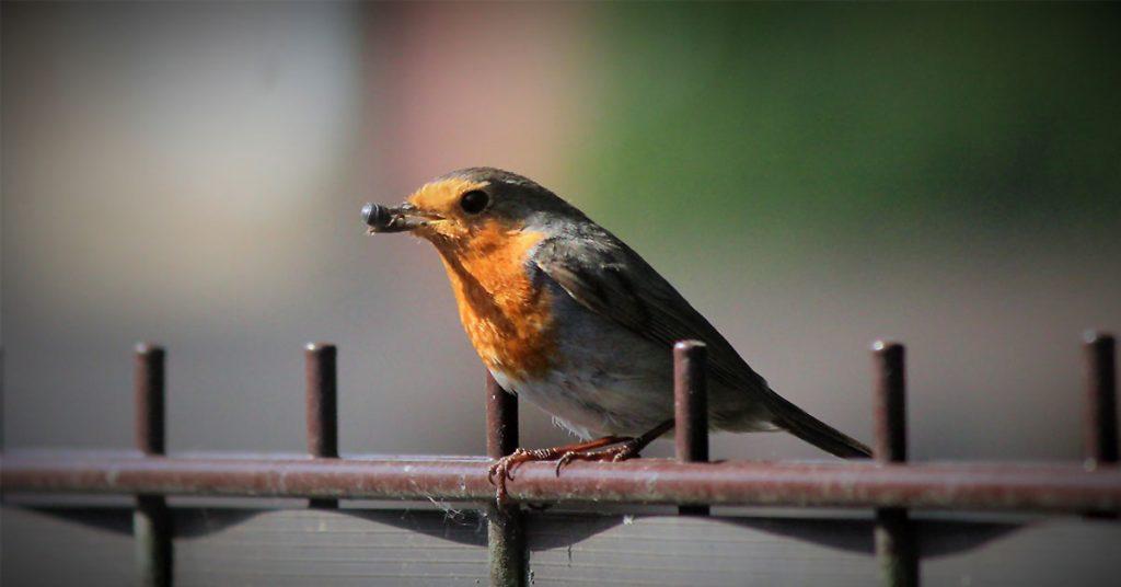 """Rotkehlchen Rettung """"Essen auf Flügeln"""" - Für den Futternachschub sorgt der Vogelpapa. Foto: Marie-Therese Gewert"""