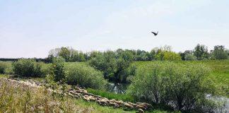 500-Schafe-grasen-an-der-Lippe-Dorsten